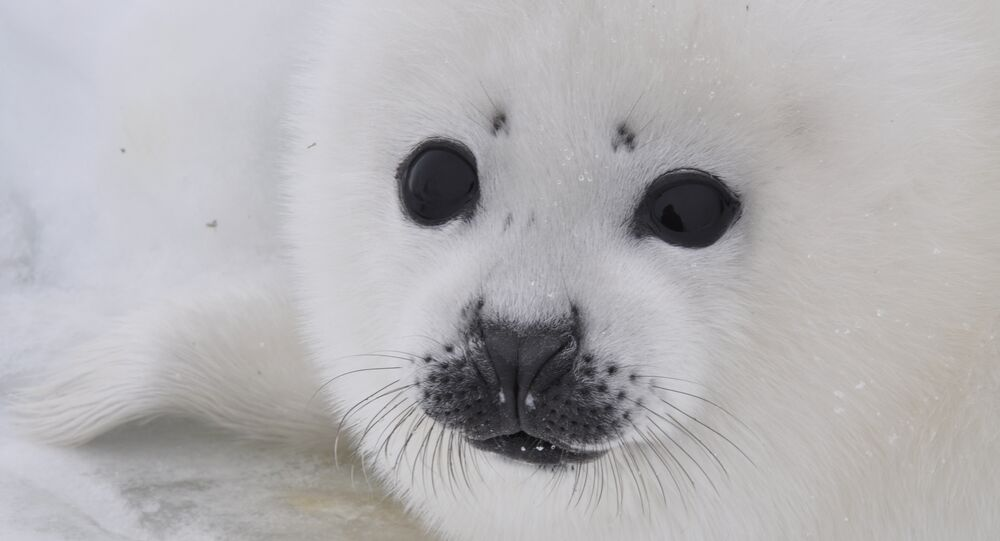 Pamela Anderson asks Russia's Putin to ban imports of Canadian baby seal fur
